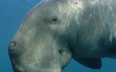 Douglas the dugong is back with his toddler!